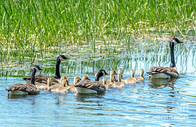 Photograph - Big Goose Family by Cheryl Baxter