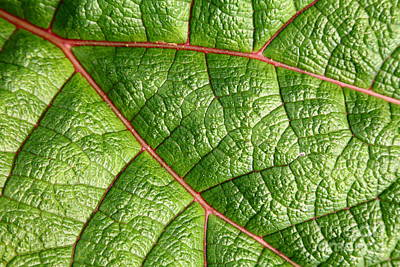 Photograph - Big Green Leaf 5d22460 by Wingsdomain Art and Photography