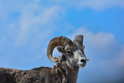 Photograph - Big Horn At Glacier by Michael Gooch