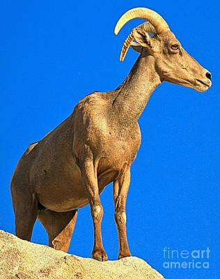 Photograph - Big Horn At Joshua Tree by Adam Jewell
