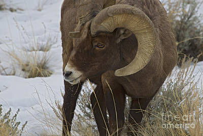 Ethereal - Big Horn Ram   #3686 by J L Woody Wooden