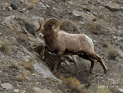 Reptiles - Big Horn Ram   #9245 by J L Woody Wooden