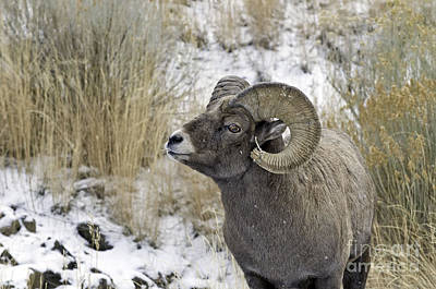 Big Horn Ram Art Print by Bob Dowling