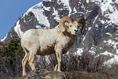 Photograph - Big Horn Ram In Spring by Jack Bell