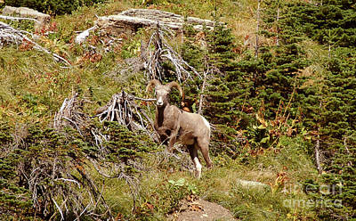 Photograph - Big Horn Sheep - Glacier by Cindy Murphy - NightVisions
