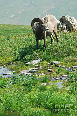 Photograph - Big Horn Sheep - Glaicer by Cindy Murphy - NightVisions