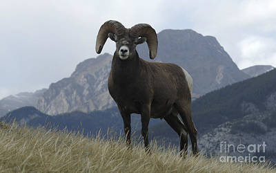 Canadian Wildlife Photograph - Big Horn Sheep 2 by Bob Christopher