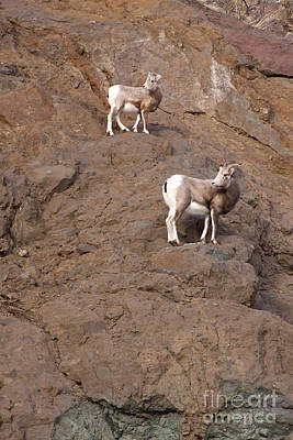 Marvelous Marble - Big Horn Sheep  Ewe and Lamb   #4182 by J L Woody Wooden