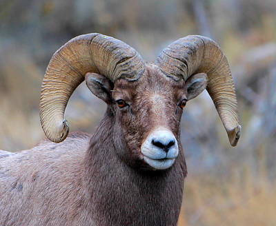 Photograph - Big Horn Sheep by Floyd Tillery