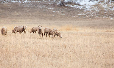 Photograph - Big Horn Sheep by Fran Riley