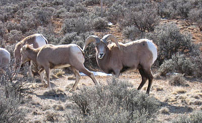 Photograph - Big Horn Sheep In Taos by Kerry Bennett