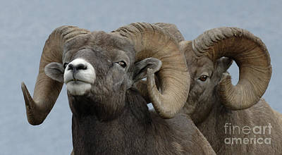 Canadian Wildlife Photograph - Big Horn Sheep Canada by Bob Christopher