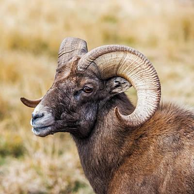 Big Horn Sheep Photograph - Big Horn Sheep by Paul Freidlund