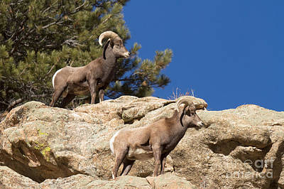 Photograph - Big Horn Sheep Rams by Fred Stearns