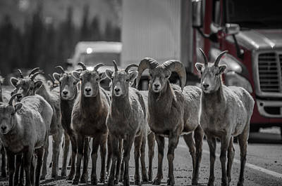Photograph - Big Horn Sheep Road Block by Roxy Hurtubise