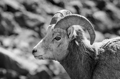 Photograph - Big Horn Sheep Profile by Roxy Hurtubise