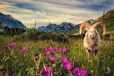 Big Horn Sheep Art Print by Tracy Munson