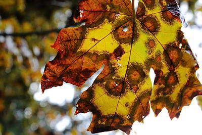 Photograph - Big Leaf Maple by David Andersen