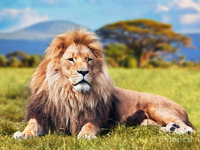 Photograph - Big Lion Lying On Savannah Grass by Michal Bednarek