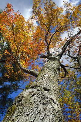 Rollos Photograph - Big Orange Maple Tree by Christina Rollo