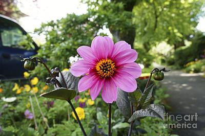 Photograph - Big Pink Summer Daisy by John  Mitchell
