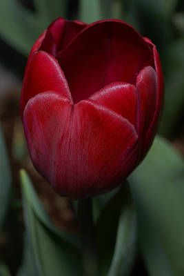 Tulip Pics Photograph - Big Red Tulip by David Schleiss