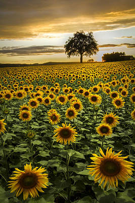 Photograph - Big Sunflower Field by Debra and Dave Vanderlaan