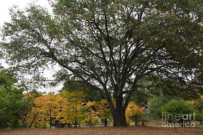 Big Wine Photograph - Big Tree At The Historic Luther Burbank Farm Sebastopol California 5d25926 by Wingsdomain Art and Photography