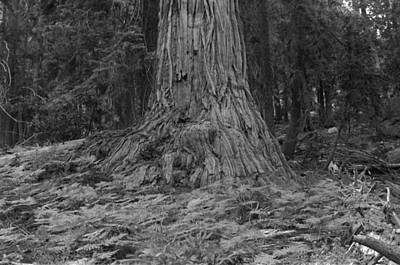 Photograph - Big Tree In Northern California 1976 by Ben Upham III