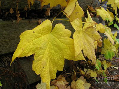 Photograph - Big Yellow Leaves by Leone Lund