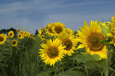 Big Yellow Sunflowers In A Michigan Field Art Print by Diane Lent