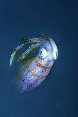 Squids Photograph - Bigfin Reef Squid by Ethan Daniels
