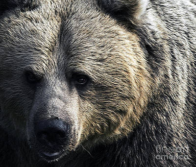 Bigger Than The Average Bear Art Print by Rick Bransby
