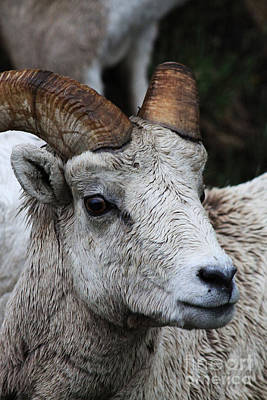 Photograph - Bighorn by Alyce Taylor