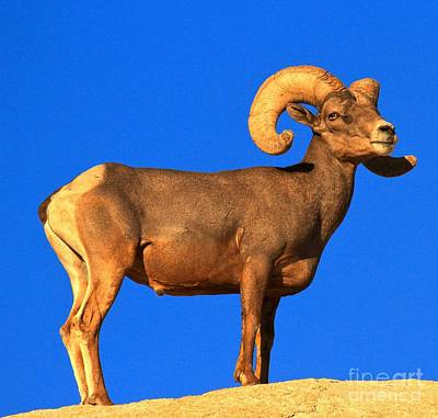 Photograph - Bighorn Beauty by Adam Jewell