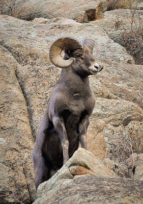 Photograph - Bighorn Big Boy by Kevin Munro