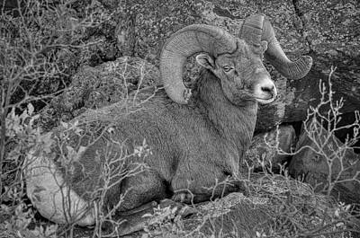 Photograph - Bighorn Black And White by Britt Runyon