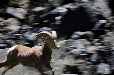 Photograph - Bighorn Blur by Britt Runyon