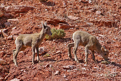 Art Print featuring the photograph Bighorn Canyon Sheep Wyoming by Janice Rae Pariza
