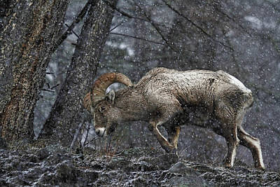 Photograph - Bighorn Caught In A Blizzard by Athena Mckinzie