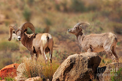Grand Canyon Photograph - Bighorn Duo by Inge Johnsson
