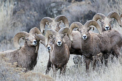 Photograph - Bighorn Group by Athena Mckinzie