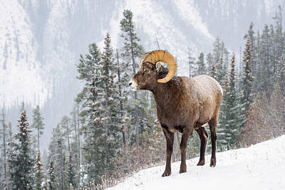 Photograph - Bighorn In Snow by Michael Blanchette