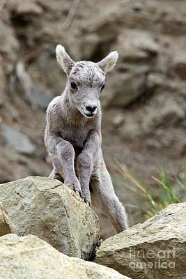 Photograph - Bighorn Lamb by Bill Singleton