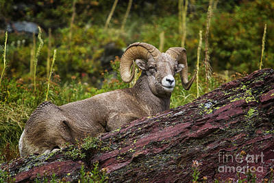 Many Glacier Photograph - Bighorn Ram 3 by Mark Kiver