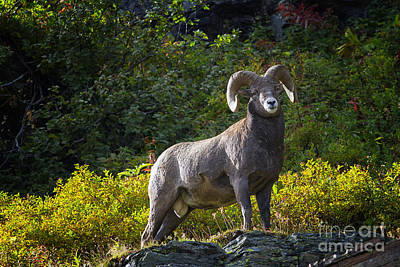 Photograph - Bighorn Ram by Mark Kiver