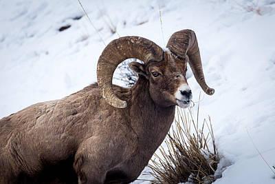 Photograph - Bighorn Ram by Michael Chatt