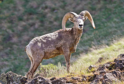 Photograph - Bighorn Ram On A Cliff by Athena Mckinzie