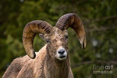 Photograph - Bighorn Ram by Steve Stuller