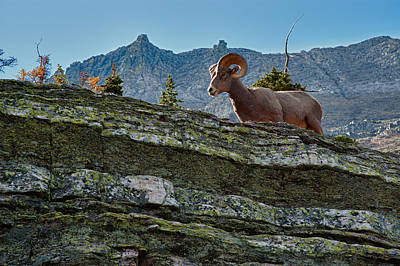 Photograph - Bighorn by Sebastian Musial